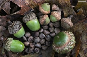 1280px-Acorns_small_to_large